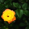 夜勤前 薔薇 庭で。 5/31