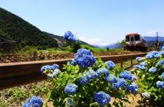 紫陽花咲く樽見鉄道