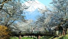 忍野 桜並木