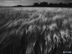 麦畑と風2(モノクロ)