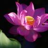 蓮の花とミツバチ