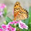 ナデシコに蝶