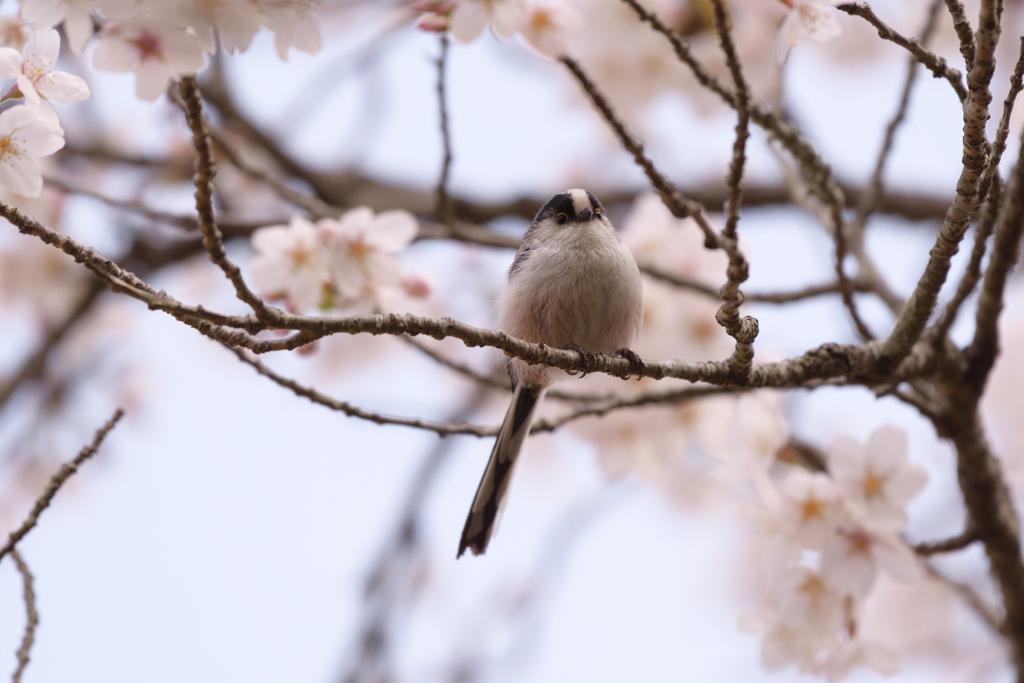 桜とエナガ