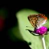 吸蜜する蝶