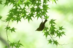 新緑にメジロ