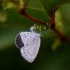シジミ蝶の産卵