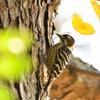 秋色の中にコゲラ