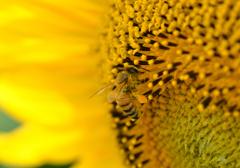 ヒマワリとミチバチ
