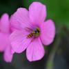 花片喰に花虻