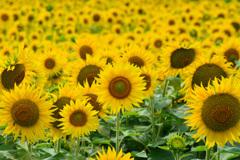 満開の向日葵