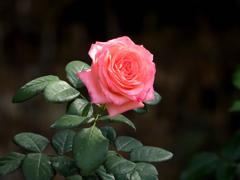 薔薇(セレス)