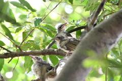 親鳥を待つ雛