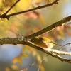 秋色の中にメジロ