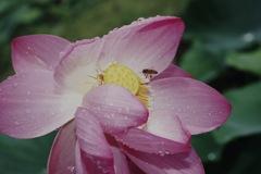 二千年蓮と蜂