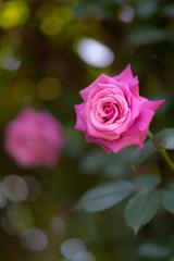 京成バラ園 バラの盛り
