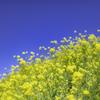 菜の花と青空^^¥