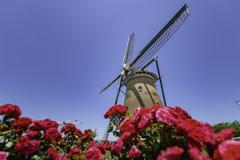 薔薇と風車^^¥