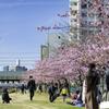 河津桜と人々とスカイツリー^^¥