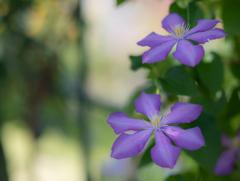 紫の花 5月
