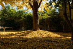 イチョウの木の下で・・・