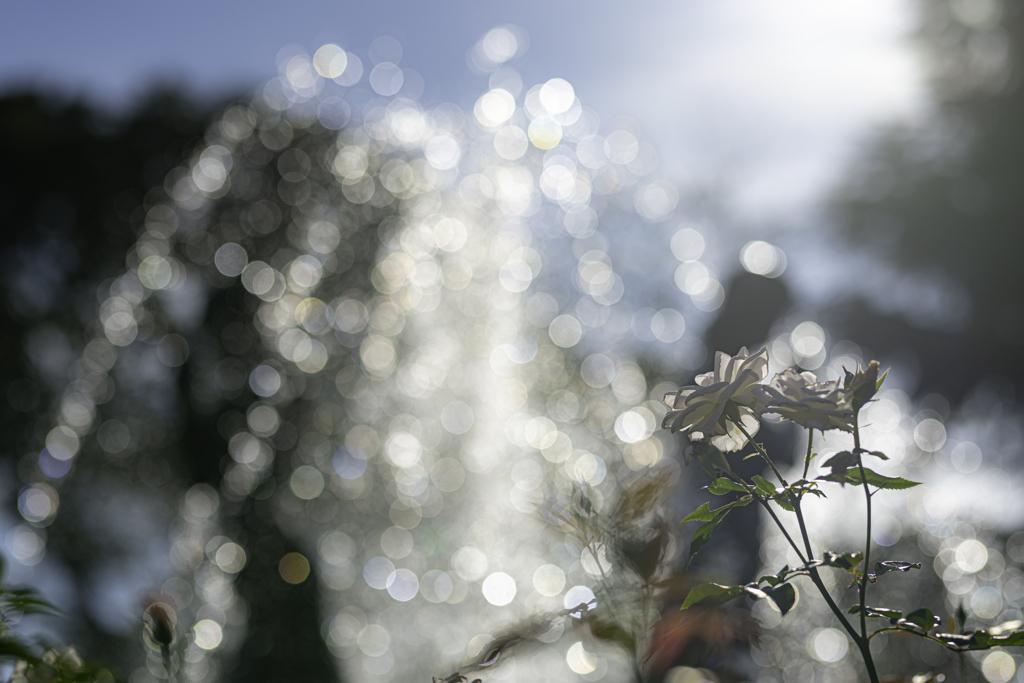 バラと光の洪水^^