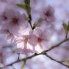 春陽・花びらを通して!^^¥