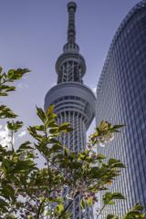 ボタン桜と東京スカイツリー^^¥