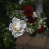 薔薇よ~りうつーくし~い♪^^¥