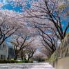 青空と桜と花びらの床