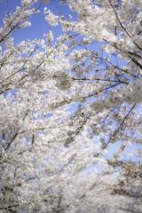 桜2020⑤桜と青空^^¥