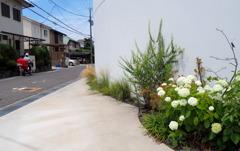 ご近所の紫陽花1