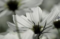 白いコスモス1