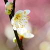 天神さまの梅の花2