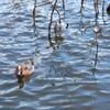 蓮池の鴨さん1