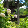 塔と紫陽花