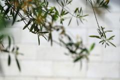 オリーブの花咲く頃1