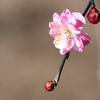 天神さまの梅の花3