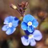 青い花 1