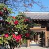 山茶花と山門