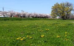 河川敷 の春 1