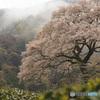 牛代の水目桜(エドヒガン)