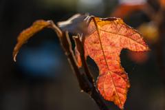 ヒカル枯れ葉