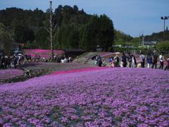 永沢寺 芝桜の絨毯