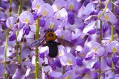 藤棚と熊蜂の飛行