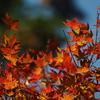 犬鳴山の紅葉 3