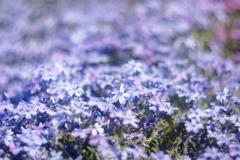 永沢寺 芝桜の絨毯 2