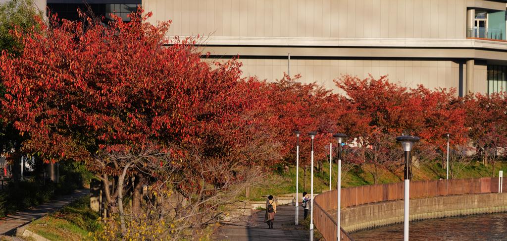 第二寝屋川の紅並木