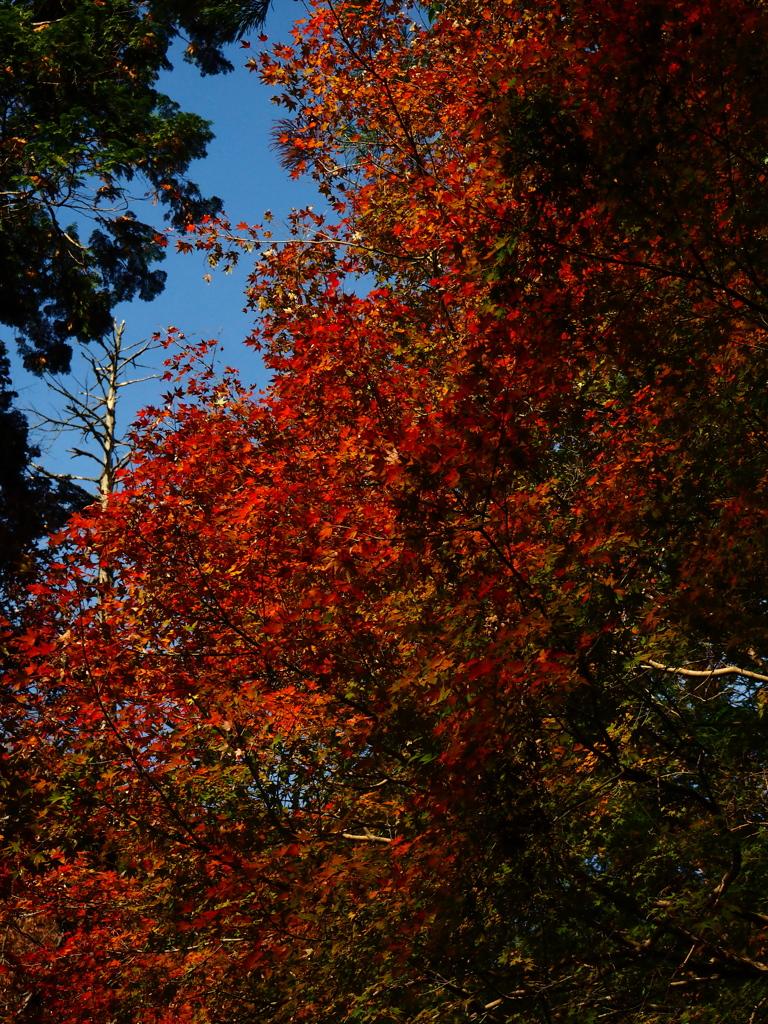 犬鳴山の紅葉 2