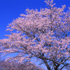 吉野の桜と青空