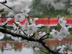 暑いから「桜」